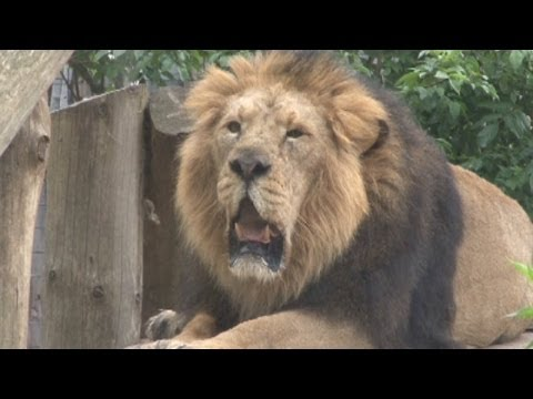 Lucifer the 30 stone lion gets health check at London Zoo before moving to new home