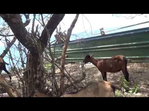GOAT FARMING  RABBI JEW BARKERS NEW JOB IN PANGLAO BEACH BOHOL 2014