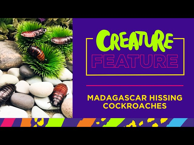 Creature Feature: Featuring Madagascar Hissing Cockroaches