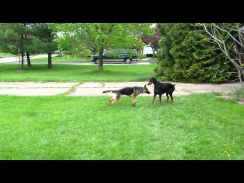 Doberman and Escaped Neighbor German Shepherd