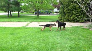 Doberman And Escaped Neighbor German Shepherd