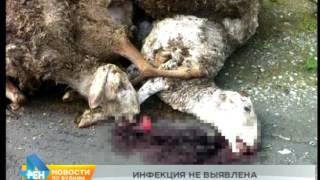 Споры сибирской язвы в тушах выброшенных на дороге баранов не обнаружены