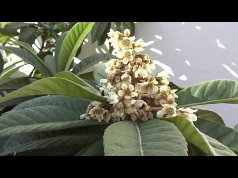 Níspero en flor: Eriobotrya japonica (www.riomoros.com)