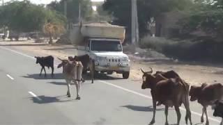 Животные в Индии  равноправные участники дорожного движения!