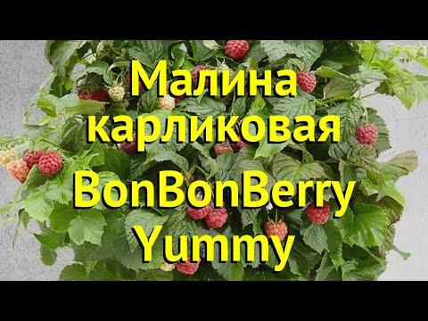 Малина карликовая Бон Бон Берри Ямми. Краткий обзор, описание rubus idaeus BonBonBerry Yummy