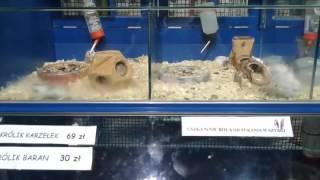 Śmieszne zwierzęta - chomiki