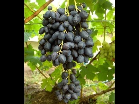 Виноград  Чёрный палец с описанием