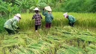 Xem đi xem lại 1000 lần vẫn không nhịn được cười  gặt lúa kiểu quý tộc