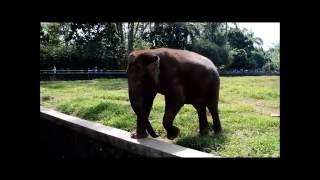 Gajah  Kebun Binatang Ragunan