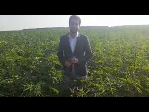 Выращивание технической конопли в россии семена канабиса наложенным