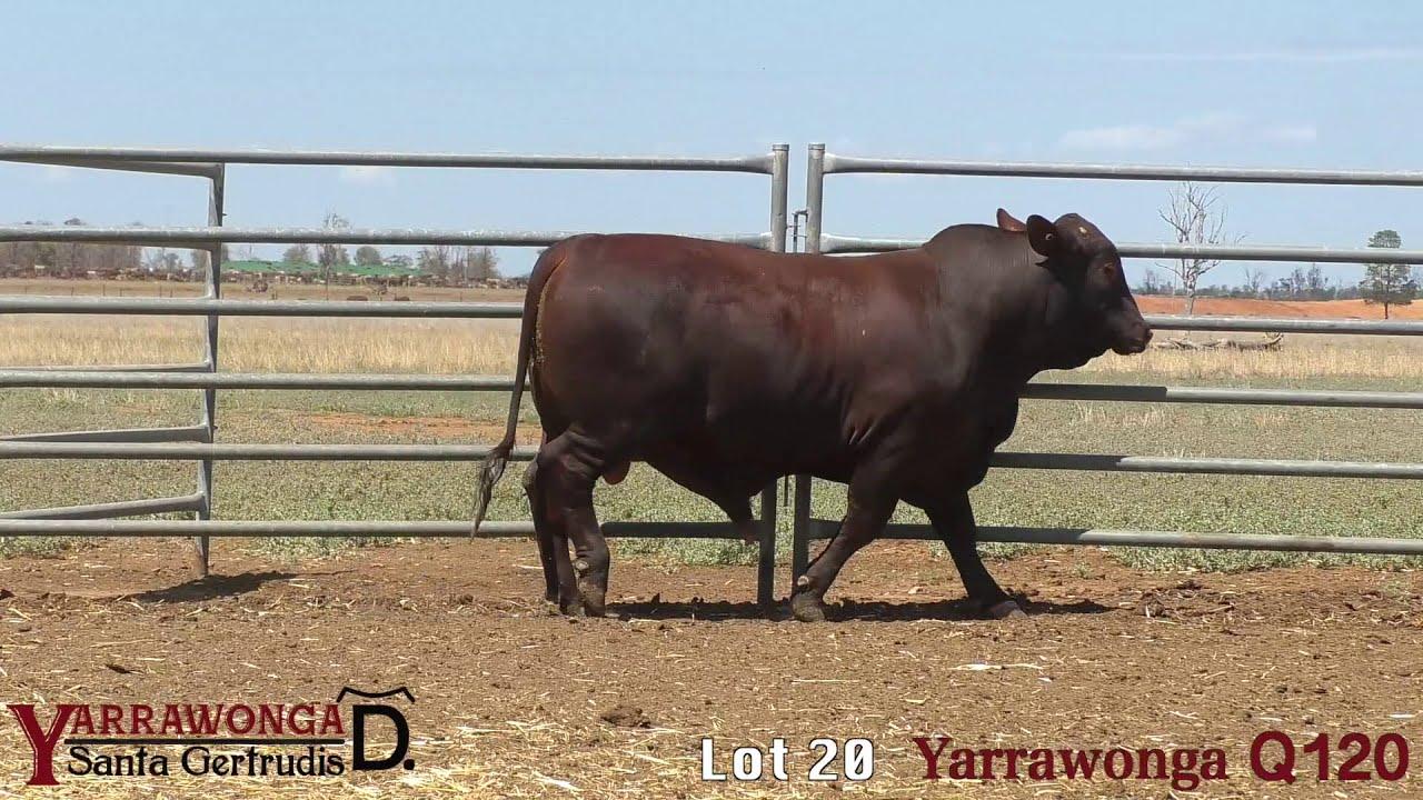 Download Clermont Santa Gertrudis Bull Sale 2020 - Lot 20 Yarrawonga Q120