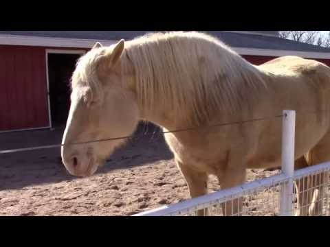 Critically Rare American Cream Draft Horse. Fewer Than 2,000 In The World.