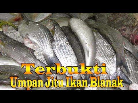 Pancing Ikan Blanak Dengan Umpan Jitu Tidak Ada Dua Nya Mantaap Streek Trus