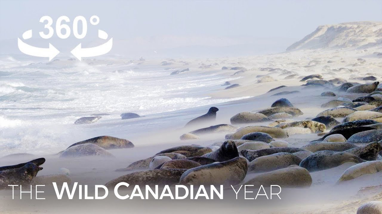 400,000 Grey Seals Crowd Onto Sable Island Beaches Every Winter (360 Video) | Wild Canadian Year