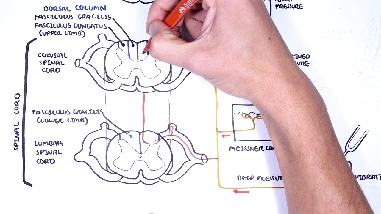 sensory tracts dorsal column medial lemniscus pathway [ 1280 x 720 Pixel ]