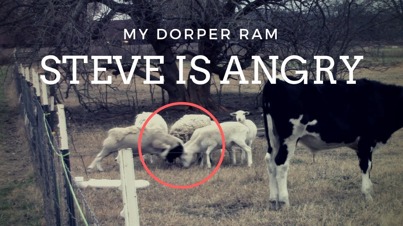 my-angry-ram-steve-goes-crazy-on-the-other-sheep