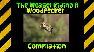 The Weasel Riding A Woodpecker compilation