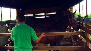 Cavalo Crioulos