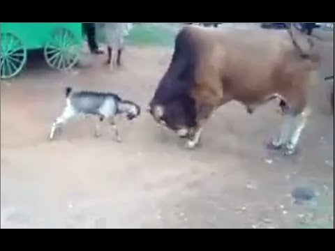 "Goat Vs Bull Fight Super Masti...""Never Give Up"""