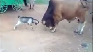 Goat vs Bull fight