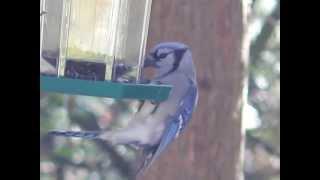 Blue Jay Feeding At Small Feeder.