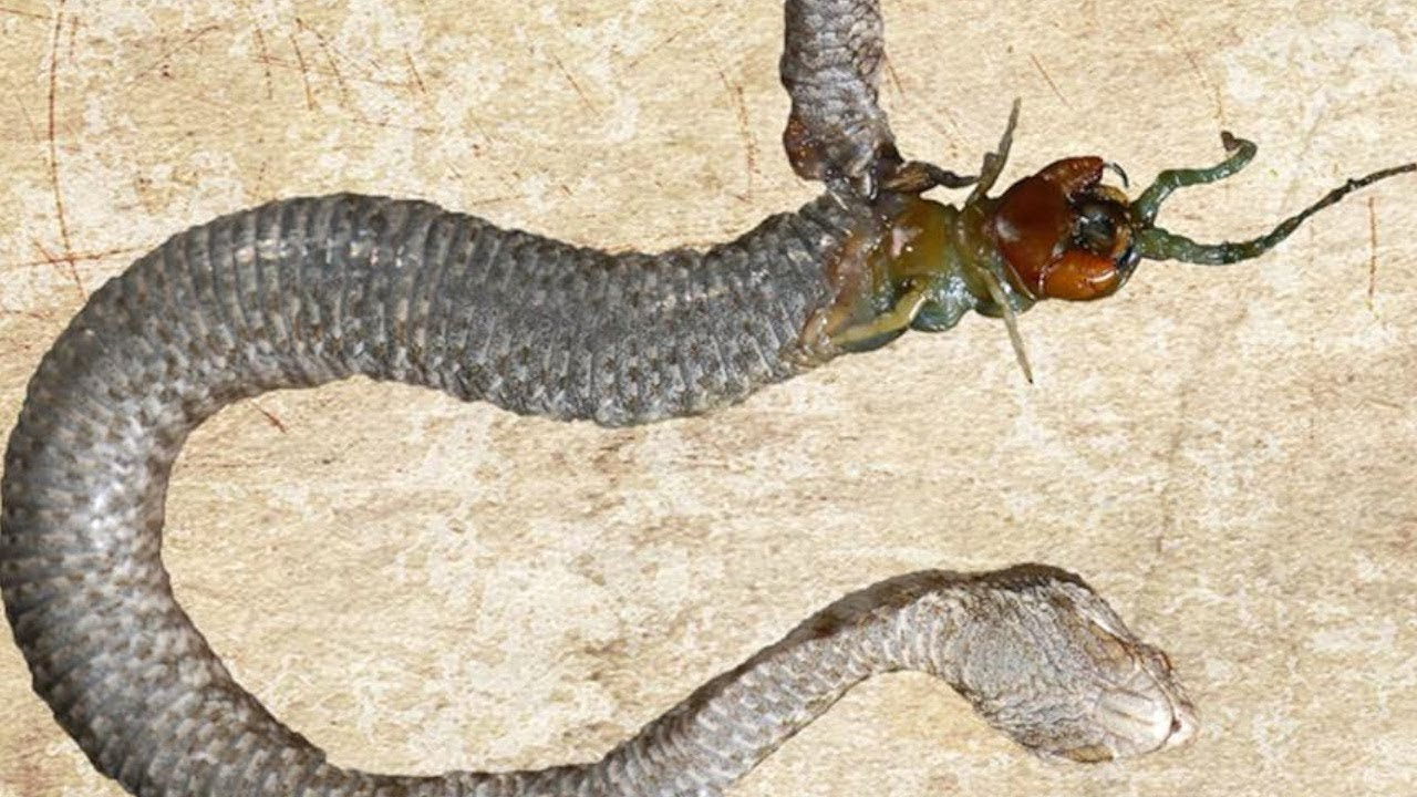Scientists discover a dead female viper with the head of a centipede sticking out of its belly.