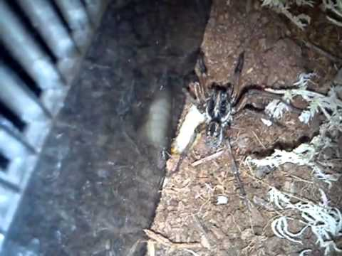 A Look At My Wolf Spider - She Jumps :)