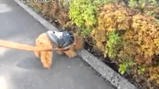 トイプードル1歳の男の子ココちゃんの、しつけトレーニング前の散歩の様...
