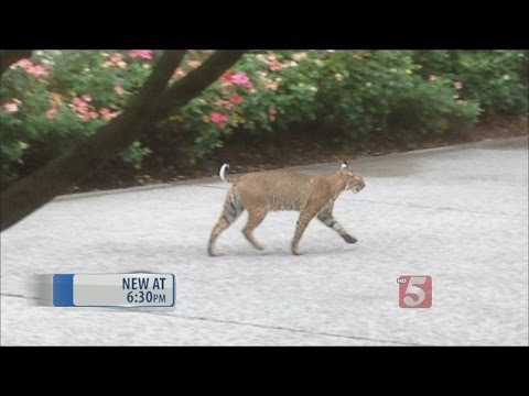 Bobcat Sighting Reported In Cool Springs