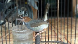 Suara Prenjak Abang Gacor Untuk Pikat Ciblek / Burung Kecil Di Alam Liar 100% Terbukti Ampuh
