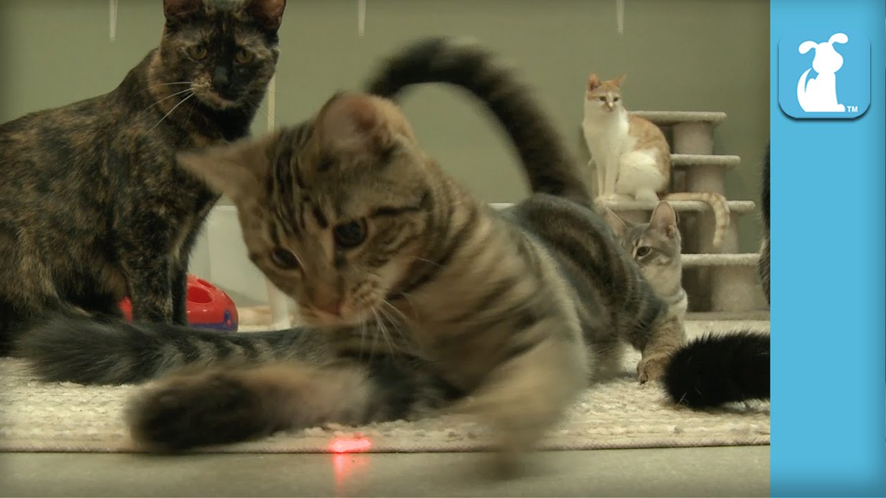 Kittens FREAK OUT for Laser Pointer! It's their FIRST TIME! - Kitten Love