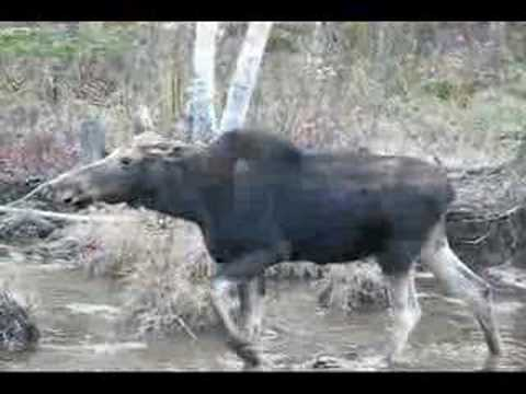 Cow Moose on a Chilly Fall Morning