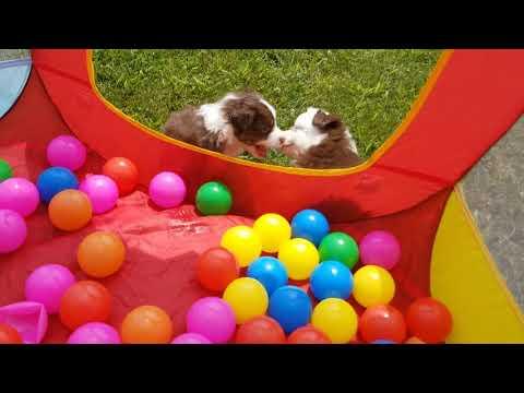 Toy Australian Shepherd Puppies!