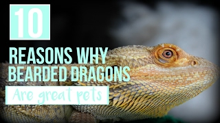 10 Reasons Why BEARDIES Make GREAT PETS!