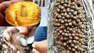 Coco de aceite, coco de raspa, corozo, cohune, coco tonto, cocoyule,