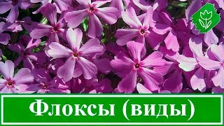 Цветы флоксы – виды и сорта