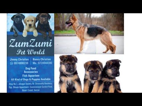 Dog shop in Ahmedabad, ZumZumi Pet World, German Shepard puppies for sale