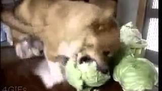 Озверевшая от диеты собака набрасывается на капусту