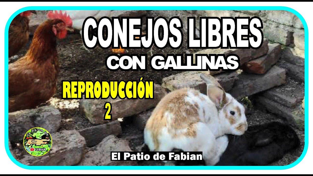 Conejos Libres con Gallinas // REPRODUCCIÓN