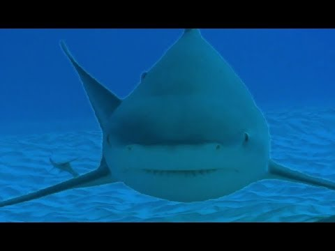 Diving with Dangerous Bull Sharks | Deadly 60 | BBC Earth