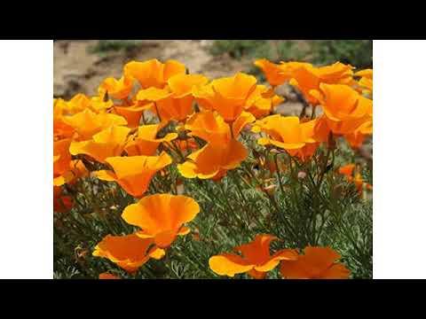 Must See Spring Growing Season 2018 Reviews California Orange Poppy