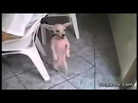 Chiste de un perro muy graciosa