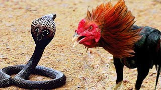 EN İNANILMAZ 10 HAYVAN KAVGASI ( Sürpriz Bir Şekilde Kazanan Hayvanlar )