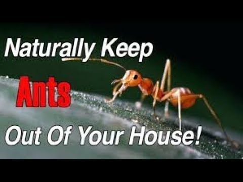 Ant Control At Home How To Get Rid Of Ants In Your House Naturally Simple Steps