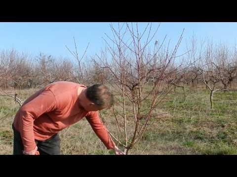 körtefa metszése