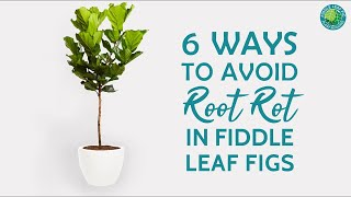 6 Ways To Prevent Root Rot In Fiddle Leaf Fig Plants | Fiddle Leaf Fig Plant Resource Center