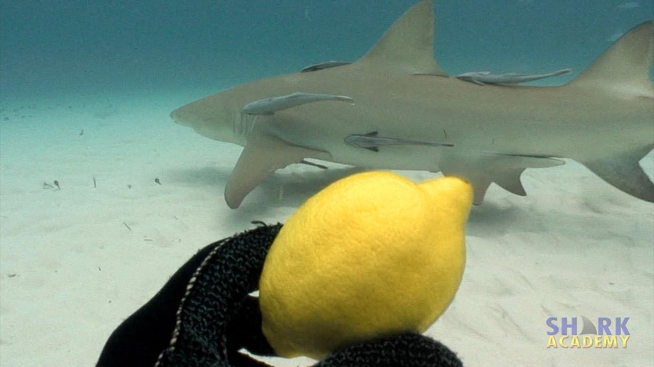 Lemon Sharks | SHARK ACADEMY - YouTube