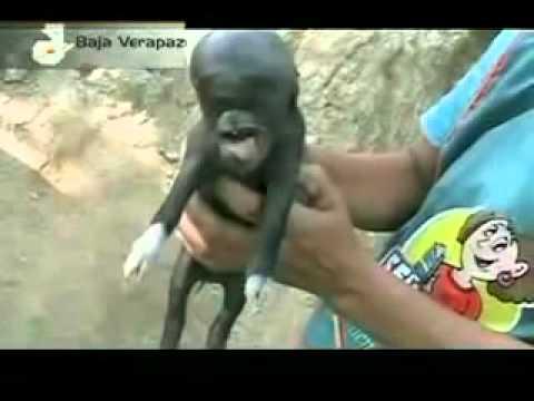 Nacimiento de un cerdo con cabeza humana en Guatemala