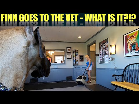 Finn the Great Dane goes to the vet - what is it?