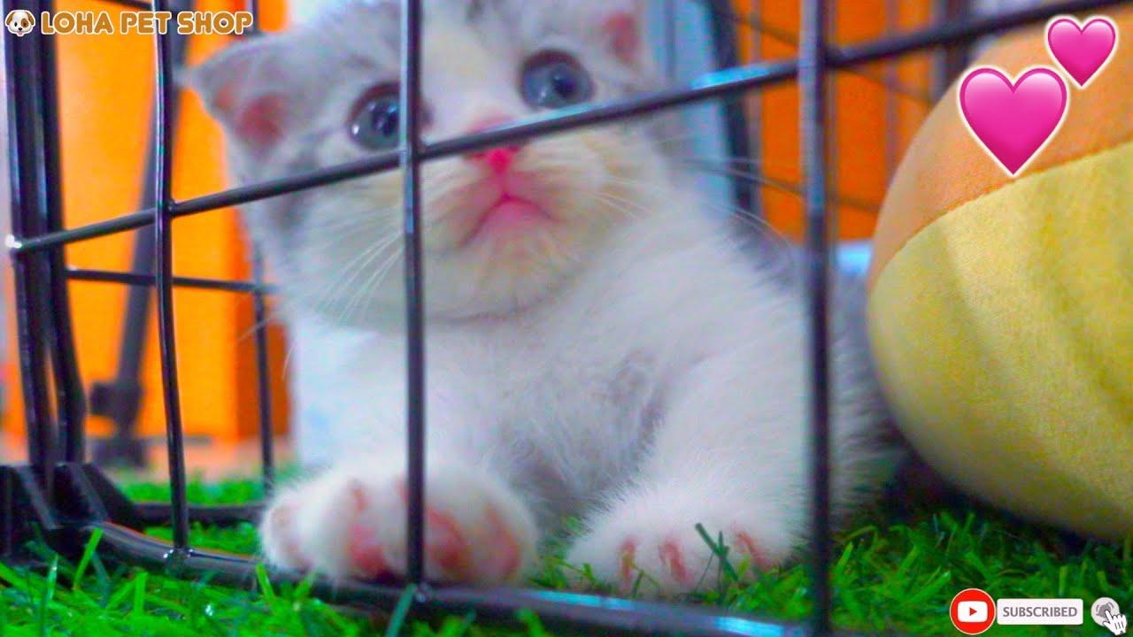 Tiny Munchkin Mèo chân lùn Vlog 27/06/2020 LoHa Pet Shop
